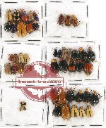 Scientific lot no. 256 Chrysomelidae (49 pcs)