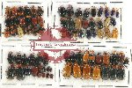 Scientific lot no. 280 Chrysomelidae (79 pcs)
