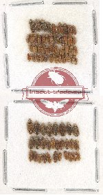 Heteroceridae Scientific lot no. 10 (73 pcs)
