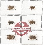Scientific lot no. 203 Cerambycidae (6 pcs)