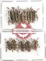 Scientific lot no. 170 Cerambycidae (10 pcs A, A-, A2)