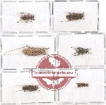 Scientific lot no. 180 Cerambycidae (6 pcs - 1 pc A2)