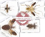 Scientific lot no. 708 Heteroptera (4 pcs)