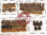 Scientific lot no. 285 Chrysomelidae (103 pcs)