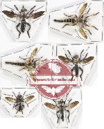 Scientific lot no. 50 Diptera (Asilidae) (6 pcs - 1 pc A2)