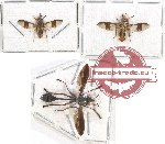 Scientific lot no. 57 Diptera (3 pcs)