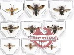 Scientific lot no. 42 Diptera (9 pcs)