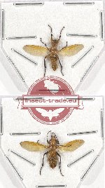 Scientific lot no. 43 Diptera (2 pcs)