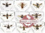 Scientific lot no. 53 Diptera (9 pcs - 3 pcs A2)