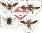 Scientific lot no. 59 Diptera (4 pcs)