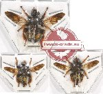 Scientific lot no. 60 Diptera (3 pcs)