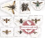 Scientific lot no. 45 Diptera (10 pcs)