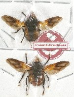 Scientific lot no. 56 Diptera (2 pcs - 1 pc A2)