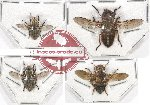 Scientific lot no. 55 Diptera (4 pcs)