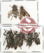 Scientific lot no. 51 Diptera (7 pcs A2)