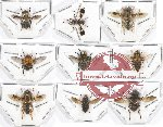 Scientific lot no. 48 Diptera (9 pcs - 3 pcs A2)