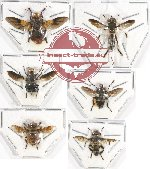 Scientific lot no. 52 Diptera (6 pcs)