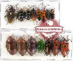 Scientific lot no. 744 Heteroptera (15 pcs)