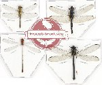 Scientific lot no. 13 Odonata (4 pcs - 1 pc A2)