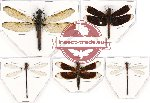 Scientific lot no. 10 Odonata (5 pcs - 4 pcs A2)