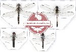 Scientific lot no. 9 Odonata (4 pcs)