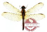 Brachythemis sp. 1 (SPREAD)