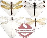 Scientific lot no. 1 Odonata rare (4 pcs) (1pc A2)