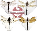 Scientific lot no. 2 Odonata rare (4pcs) (1pc A2)