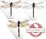 Scientific lot no. 3 Odonata (3 pcs)