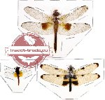 Scientific lot no. 4 Odonata rare (3 pcs)