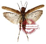 Orthoptera sp. 24 (SPREAD) (10 pcs)
