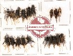 Scientific lot no. 3 Orthoptera (A, A-, A2) (19 pcs)