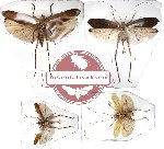 Scientific lot no. 5 Orthoptera (2 pcs A-) (4 pcs)