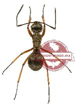 Polyrhachis andromache