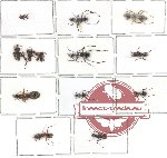 Scientific lot no. 1 Formicidae (14 pcs)