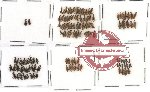 Anthicidae Scientific lot no. 1 (121 pcs)