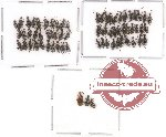 Anthicidae Scientific lot no. 2 (67 pcs)