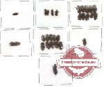 Colydidae Scientific lot no. 1 (28 pcs)