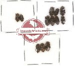 Colydidae Scientific lot no. 2 (12 pcs)