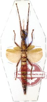 Phasmidae sp. 10