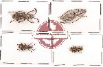 Anthribidae scientific lot no. 27 (4 pcs)