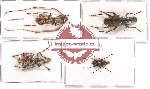 Anthribidae scientific lot no. 28 (4 pcs)