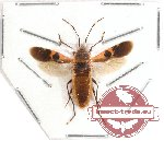 Heteroptera sp. 54 (SPREAD)