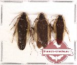 Blattodea sp. 33 (3 pcs A2)