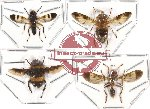 Scientific lot no. 17 Diptera (4 pcs - 1 pc A2)