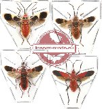 Scientific lot no. 48 Heteroptera (4 pcs - 2 pcs A-)