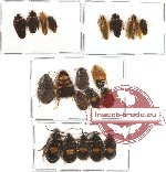 Scientific lot no. 7 Blattodea (20 pcs A-, A2)