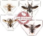 Scientific lot no. 16 Diptera (4 pcs)