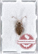 Heteroptera sp. 43 (10 pcs)