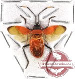 Heteroptera sp. 48 (SPREAD)